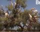 Maroc : Ces chèvres qui montent aux arbres ! | VIDÉO